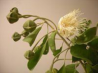 Capparris mitchellii flowers