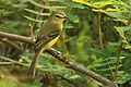 Capsiempis flaveola -Costa Rica-8 (1).jpg