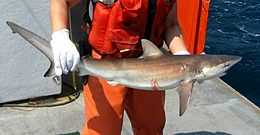 A fishery worker standing on a ship, holding a small shark in his gloved hands