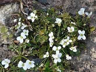 Cardamine corymbosa - Flowers