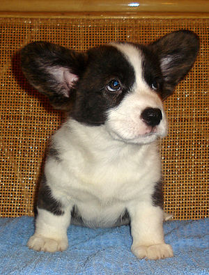 My Cardigan Welsh Corgi, Fred, when he was a p...