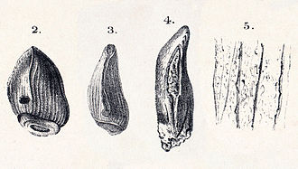 Cardiodon - Holotype tooth