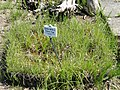 Carex hirta - Botanischer Garten München-Nymphenburg - DSC07827.JPG