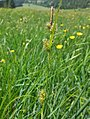 Carex hostiana inflorescens (5).jpg