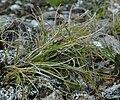 Carex nardina.jpg