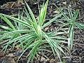 Carex phyllocephala Sparkler 0zz.jpg