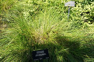 <i>Carex tumulicola</i> Species of grass-like plant