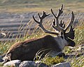 Caribou (Rangifer tarandus) - Port au Choix, Newfoundland 2019-08-19 (17).jpg