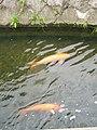 Carp (Syoujaku River).jpg