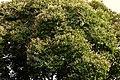 Casco de buey (Bauhinia picta) - Flickr - Alejandro Bayer.jpg