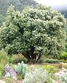 Cassine peragua Cape Saffron Tree in flower South Africa 5.JPG