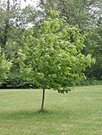 Castanea dentata-field trial2009.jpg