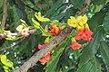 Castanospermum australe - Moreton Bay Chestnut - at Ooty 2014.jpg