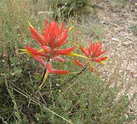 Castilleja linariifolia 10