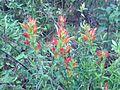 Castilleja tenuiflora.jpg