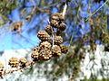 Casuarina cunninghamiana fruit.jpg