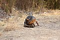 Catalina Island Fox (Urocyon littoralis catalinae) chewing butt.jpg