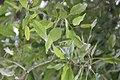 Catalpa longissima 6zz.jpg