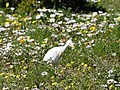 Cattle Egret Foraging Among the Wildflowers (43841651725).jpg