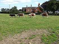 Cattle at Manor Farm, Miningsby - geograph.org.uk - 554969.jpg