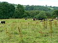 Cattle in a field near Breach - geograph.org.uk - 484482.jpg