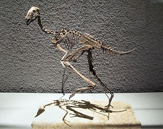Caudipteryx - Mounted C. zoui skeleton restoration
