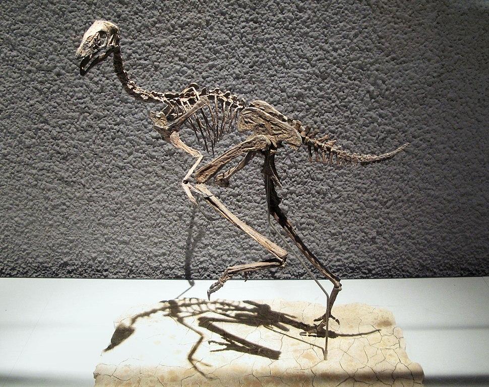 Caudipteryx zoui - Untere Kreide - Liaoning-China