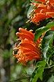Cayena - Lluvia de oro - Jazmín de fuego - Siete de bastos (Pyrostegia venusta) (14581749105).jpg