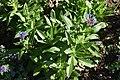 Centaurea montana 03.jpg