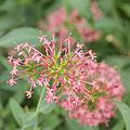 Centranthus ruber-IMG 4389.jpg