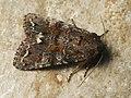 Ceramica pisi - Broom moth - Совка гороховая (40172589855).jpg