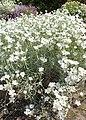 Cerastium biebersteinii kz03.jpg