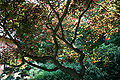 Cercis canadensis 'Forest Pansy' JPG1Aa.jpg