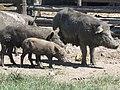 """Cerdo Paraguayo """"Kuré Saité"""".jpg"""