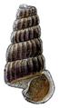 Cerithidea decollata shell.png