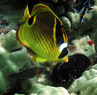 Raccoon butterflyfish species of fish