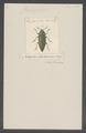 Chalcophora - Print - Iconographia Zoologica - Special Collections University of Amsterdam - UBAINV0274 023 04 0007.tif