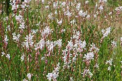 fleurs gaura