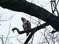 Changeable Howk Eagle - Nisaetus (cirrhatus) limmaaeetus - P1030329.jpg