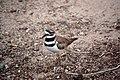 Charadrius vociferus -Phoenix Zoo, Arizona, USA-8a.jpg