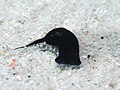 Chelidonura sandrana (23986371768).jpg