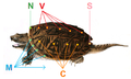 Chelydra serpentinaHolbrookV1P23A.png