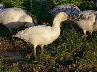 Snow goose - A. c. caerulescens white morph
