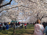 Cherry Blossom Festival Washington DC.JPG