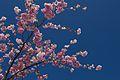 Cherry Blossom Spring Sky (4531849640).jpg