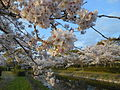 Cherry blossom trees at side of Tafuse River 20160402 01.JPG