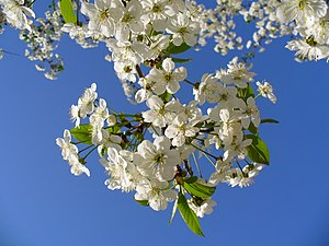 Prunus cerasus English: Cherry tree blossom Ру...