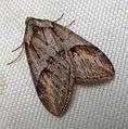 Chesias isabella. Geometridae (5370286480).jpg