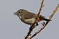 Chestnut-rumped Thornbill, on branch.jpg