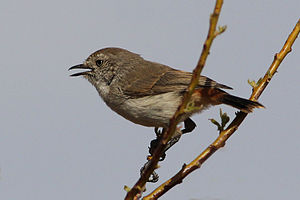Chestnut-rumped thornbill - Chestnut-rumped thornbill (Sturt Desert, NSW).
